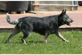 Foto 4 Australian Cattle Dog Welpen - VDH