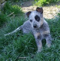 Foto 3 Australian Cattle Dog - blaue Welpen
