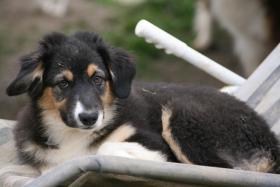 Foto 2 Australian Shepherd