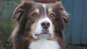 Foto 4 Australian Shepherd Deckrüde