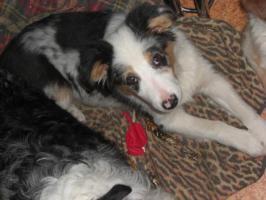 Foto 2 Australian-Shepherd Welpe! Blue-Merle-Rüde, 3 Monate