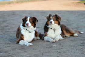 Foto 5 Australian Shepherd Welpen
