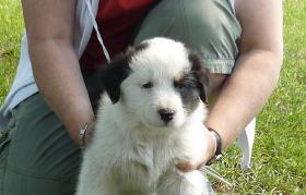 Foto 3 Australian Shepherd Welpen!!!