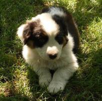 Foto 7 Australian Shepherd Welpen!!!