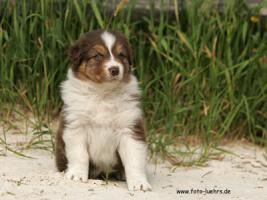 Foto 4 Australian Shepherd Welpen