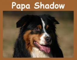 Foto 2 Australian Shepherd Welpen (2 Rüden) m. Papiere