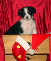 Foto 2 Australian Shepherd Welpen mit ASCA Papieren !