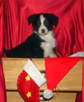 Foto 3 Australian Shepherd Welpen mit ASCA Papieren !