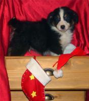 Foto 5 Australian Shepherd Welpen mit ASCA Papieren !
