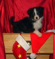 Foto 7 Australian Shepherd Welpen mit ASCA Papieren !