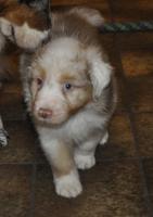 Foto 9 Australian Shepherd Welpen für Menschen mit Herz