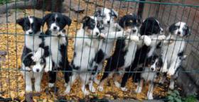 Foto 3 Australian Shepherd Welpen (Standard)