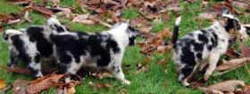 Foto 7 Australian Shepherd Welpen (Standard)