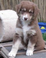 Foto 4 Australian Shepherd Welpen red tri