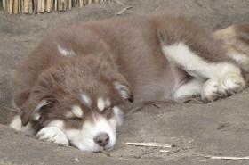 Foto 5 Australian Shepherd Welpen red tri