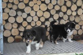 Foto 2 Australian Shepherd Welpen suchen ein Zuhause - m. ASCA Papier