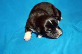 Foto 3 Australian Shepherd Welpen   ASCA