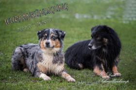 Foto 3 Australian Shepherd Wurfankündigung (Las Rocosa, Mistretta und Touchstone Linien)