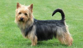 Australian Terrier FCI Welpen