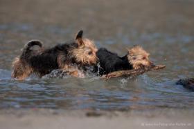 Foto 2 Australian Terrier Welpen