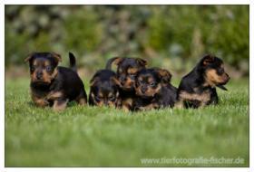 Foto 5 Australian Terrier Welpen