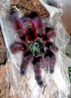 Avicularia versicolor Spiderling / Vogelspinne