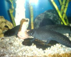 Foto 3 Axolotl in ausgefallener Farbe keks/copper/  und weitere Farben