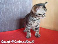 Foto 2 BENGALKATZEN: LIEBHABER - ZUCHT und SHOW BENGAL KATZEN Babys - Kitten