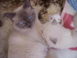 Foto 2 BKH Baby `s  in blue und lilac point
