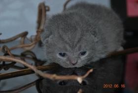 BKH Britisch Kurzhaar Babys in´der farbe Blau Kartäuser