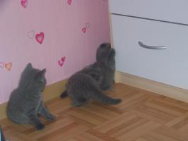 Foto 2 BKH Kätzchen