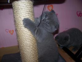 Foto 3 BKH Kätzchen