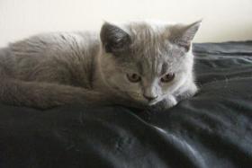 Foto 3 BKH-Kätzchen