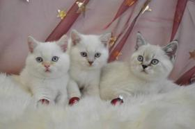 BKH Kätzchen in colourpoint FIFE reg.