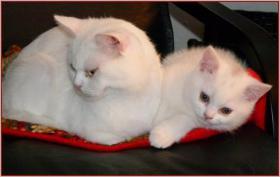 BKH Kätzchen in weiß
