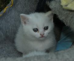 Foto 2 BKH Kätzchen in weiß