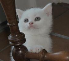 Foto 3 BKH Kätzchen in weiß