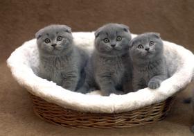 Foto 4 BKH Kätzchen, blau