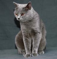 Foto 5 BKH Kätzchen, blau
