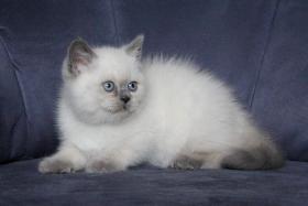 Foto 2 BKH Kater – Katzenbaby mit blauen Zeichen