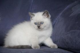 Foto 3 BKH Kater – Katzenbaby mit blauen Zeichen