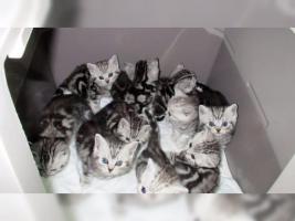 BKH Kater Kitten Katzenbabys Babykatzen in black silver tabby classic vom Züchter