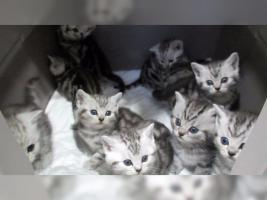 Foto 5 BKH Kater Kitten Katzenbabys Babykatzen in black silver tabby classic vom Züchter
