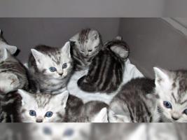 Foto 6 BKH Kater Kitten Katzenbabys Babykatzen in black silver tabby classic vom Züchter
