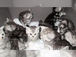 Foto 8 BKH Kater Kitten Katzenbabys Babykatzen in black silver tabby classic vom Züchter