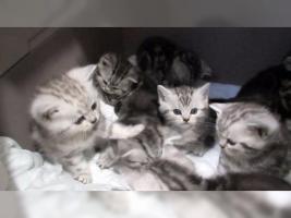 Foto 10 BKH Kater Kitten Katzenbabys Babykatzen in black silver tabby classic vom Züchter
