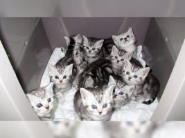 Foto 11 BKH Kater Kitten Katzenbabys Babykatzen in black silver tabby classic vom Züchter