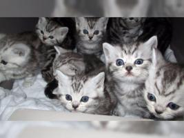 Foto 12 BKH Kater Kitten Katzenbabys Babykatzen in black silver tabby classic vom Züchter