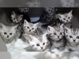 Foto 13 BKH Kater Kitten Katzenbabys Babykatzen in black silver tabby classic vom Züchter