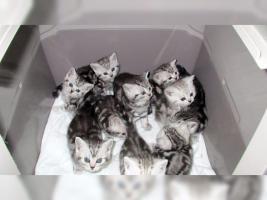 Foto 14 BKH Kater Kitten Katzenbabys Babykatzen in black silver tabby classic vom Züchter